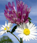 Red clover and two daisies