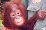 Orphaned Orang-utan in sanctuary at