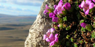 purple-saxifrage on Pen-y-ghent
